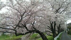 音羽川堤の満開の桜(1)