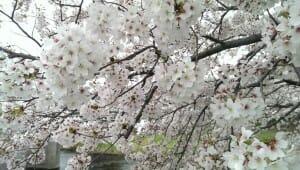 音羽川堤の満開の桜(2)